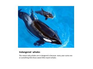 Indangered   whales