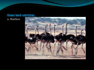 Grass land ostriches