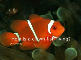 How is a clown fish living?