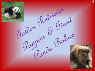 Golden Retriever  Puppies  & Giant Panda Babies
