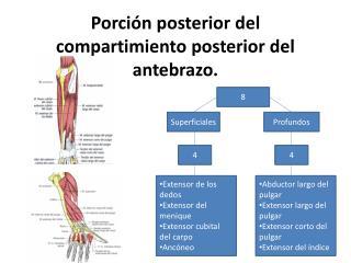 Porción posterior del compartimiento posterior del antebrazo.