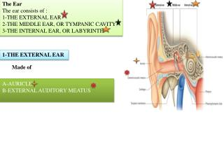 The Ear The ear consists of : 1-THE EXTERNAL EAR 2-THE MIDDLE EAR, OR TYMPANIC CAVITY
