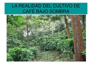 LA REALIDAD DEL CULTIVO DE CAF  BAJO SOMBRA