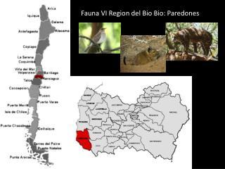 Fauna VI Region del Bio Bio:  Paredones