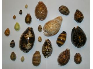 cowrie pictures