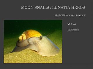 Moon Snails : L u natia Heros Marcus & Kara Doane