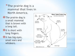 The prairie dog is a mammal that lives in North America.