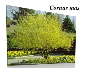 Cornus  mas