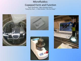Copepod species Cyclops