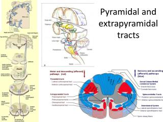Pyramidal and extrapyramidal tracts