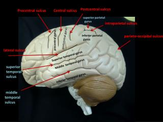 lateral  sulcus