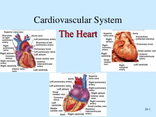 Cardiovascular System The Heart