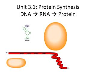 Unit 3.1: Protein Synthesis DNA   RNA  Protein