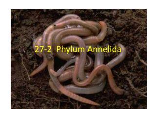 27-2  Phylum Annelida