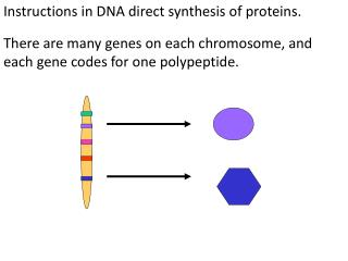Instructions in DNA direct  synthesis of  proteins.
