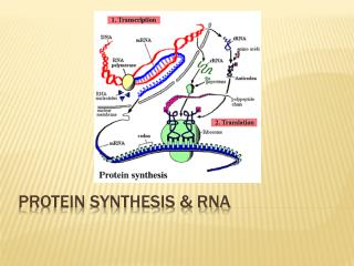Protein Synthesis & RNA