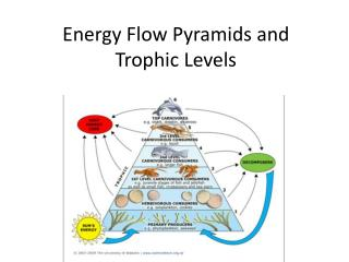 Energy Flow Pyramids and Trophic Levels