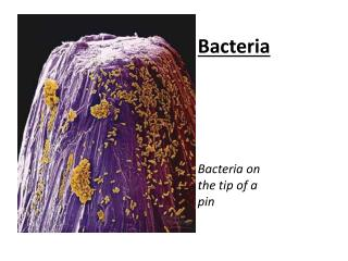 Bacteria Bacteria  on the tip of a pin