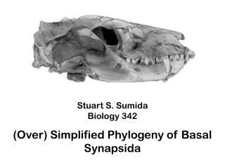 Stuart S. Sumida Biology 342 (Over) Simplified Phylogeny of  Basal  Synapsida
