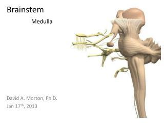 Brainstem Medulla