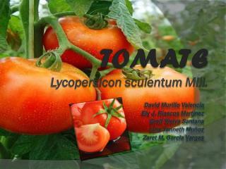 TOMATE Lycopersicon sculentum Mill .