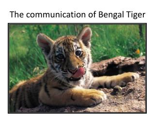 The communication of Bengal Tiger