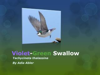 Violet - G reen  Swallow