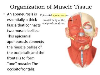 Organization of Muscle Tissue