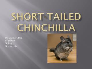 Short-tailed Chinchilla