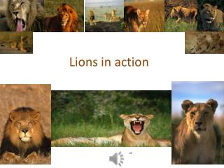 Lions in action