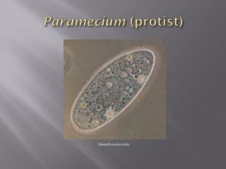 Paramecium  ( protist )