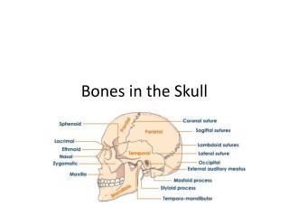Bones in the Skull