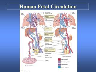 Human Fetal Circulation