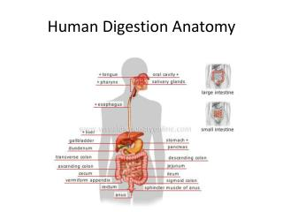 Human Digestion Anatomy