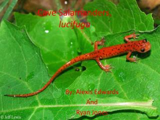 Cave Salamanders, lucifuga
