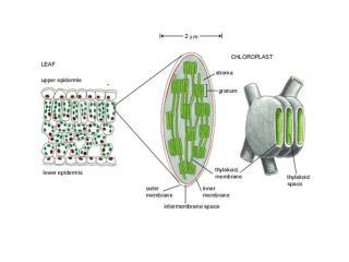 Photsystem  I Photosystem II Chlorophyll a Chlorophyll b Carotenoids Light-dependent stage