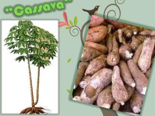 """""""Cassava"""""""