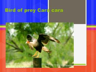 Bird of prey Cara  cara