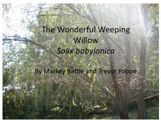 The Wonderful Weeping Willow Salix babylonica By Markey Battle and Trevor  Poppe