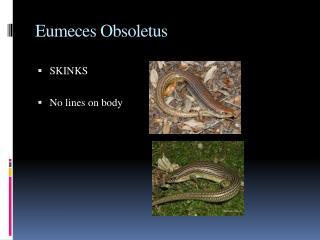 Eumeces Obsoletus