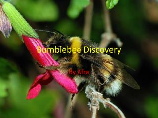 Bumblebee Discovery