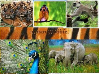 Indian Wildlife.