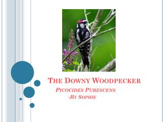 The Downy Woodpecker P icocides  Pubescens    -By  S ophie