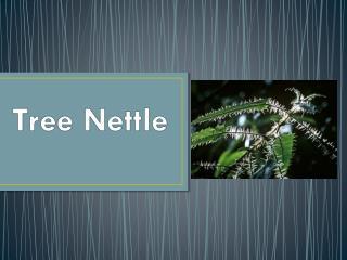 Tree Nettle