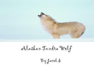 Alaskan Tundra  W olf