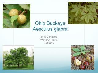 Ohio Buckeye  Aesculus g labra
