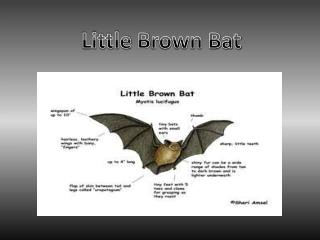 Little  B rown Bat
