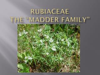 "Rubiaceae The ""Madder Family"""