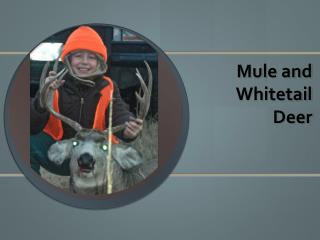 Mule and Whitetail  Deer
