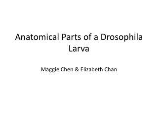 Anatomical Parts of a Drosophila Larva Maggie Chen & Elizabeth Chan